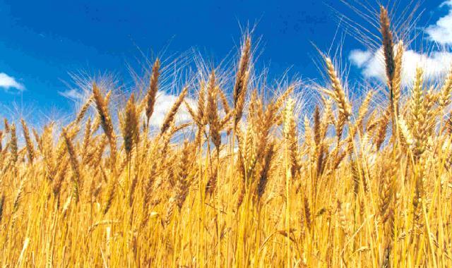 Por incertidumbre, Brasil puede comprar trigo a EEUU