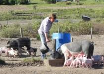 criadero porcino
